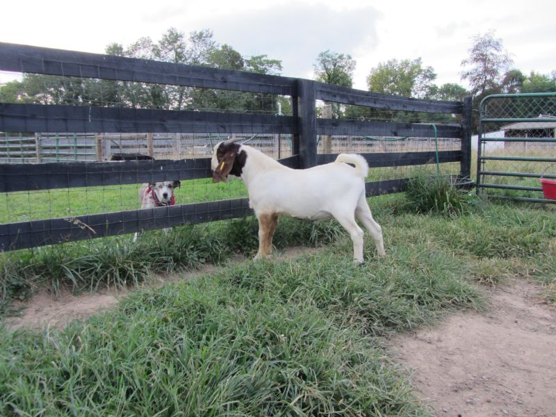 Rock Star - Boer Goat Buck