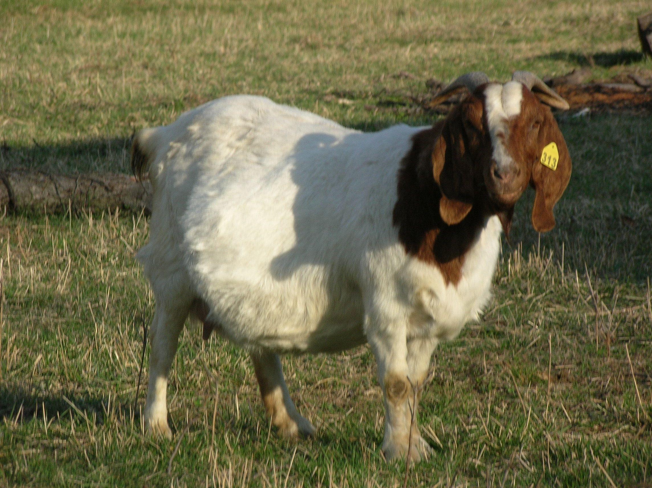 Boer Goat Does at Boer Durham Goat Farm - photo#31